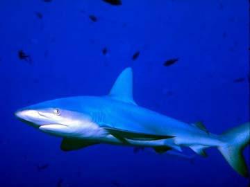 Голубая акула, фото сайта nhptv.org.